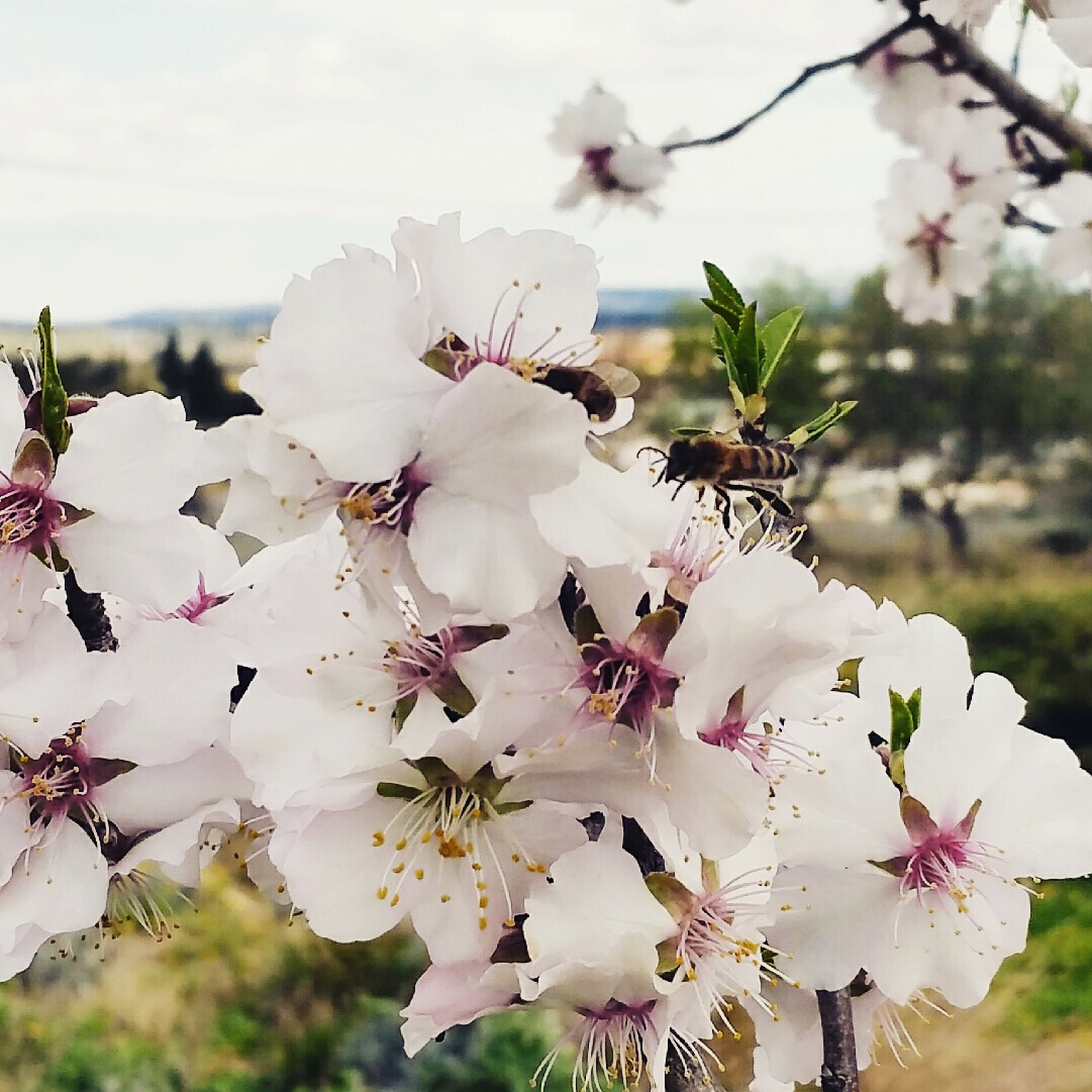 flower, freshness, fragility, growth, white color, petal, beauty in nature, tree, cherry blossom, focus on foreground, branch, nature, blossom, cherry tree, close-up, in bloom, blooming, flower head, springtime, twig