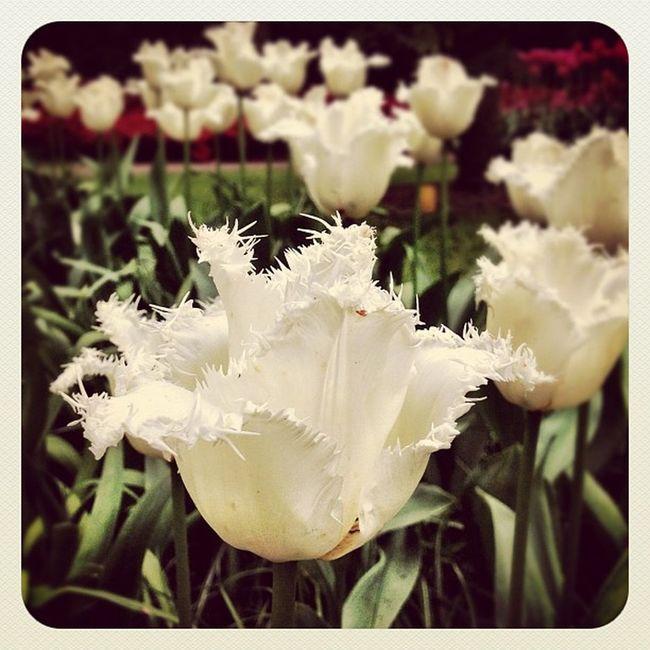Never seen #tulip like this before ??? #keukenhof #holland #ubiquography #jj_forum #dutch #jj #park #garden #flower #earlybirdlove #ebstyles_gf Ebstyles_gf Garden Flower Holland Park Tulip Dutch Jj  Keukenhof Earlybirdlove Jj_forum Ubiquography