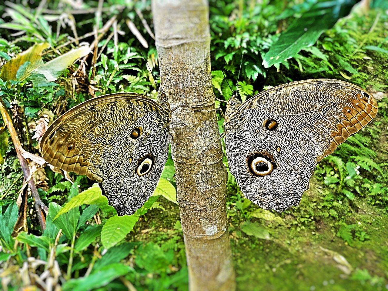 Two butterflies in the jungle Green Color Nature Plant No People Outdoors Butterfly Butterfly - Insect Giant Butterfly