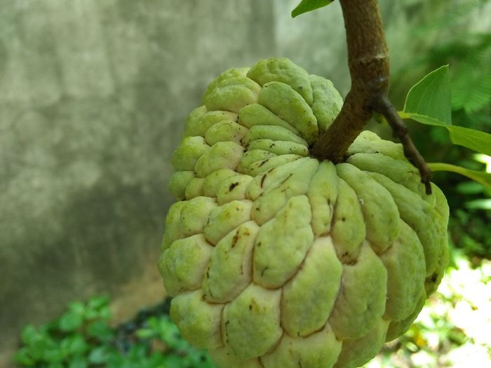 Fruit Food Tropical Climate Agriculture Nature No People Leaf Plant Tree Beauty In Nature Outdoors Day Freshness Healthy Eating Sugarapple Close-up Tree Sweety  Custard Apple Sugarappletree Beauty In Nature Freshness Sweetsop Sugar Apple Quality