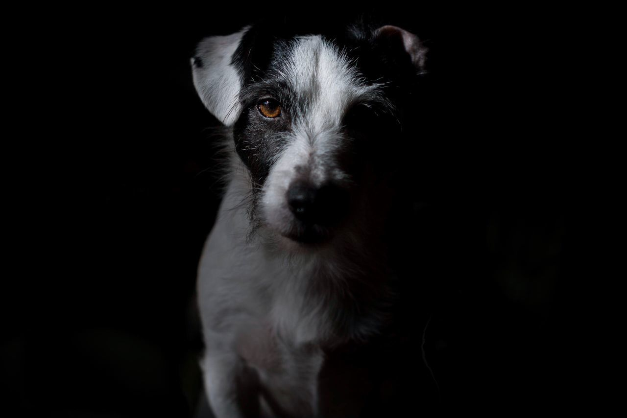 My little model Woody Black Background Pets One Animal Studio Shot Animal Themes Dog Mammal Domestic Animals Animal Portrait No People Animal Eye Close-up Day Jack Russell Jackrussell Brown Eyes Pet Photography  Pets Corner Dog Love Dogs Of EyeEm