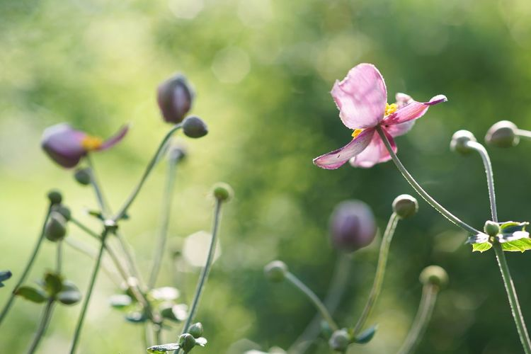 Adoration Japanese Anemone 秋明菊 Flower Pink Flower Dreaming Blooming Beauty In Nature SONY A7ii Micronikkor 105mm Masako201709 Yokohama Yokohama English Garden Micro Nikkor 105mm F2.8 Micro Nikkor 105mm