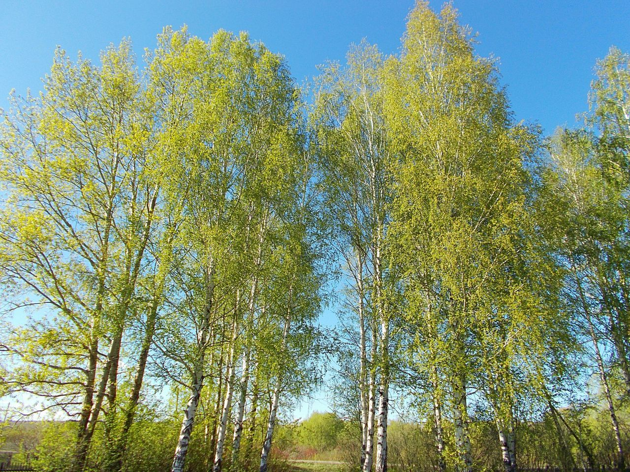 tree, growth, low angle view, nature, day, sky, outdoors, tranquility, no people, beauty in nature, forest, blue, clear sky
