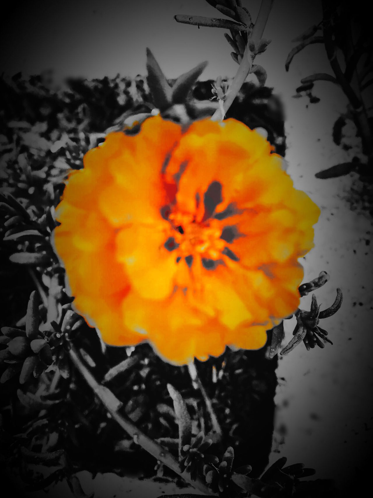Lovely Flower  Orange Flower Color Splash And HDCamera Apps Orange Flower With Gray Background Poignant Experimenting with color splash app-- this orange flower against gray background appears poignant