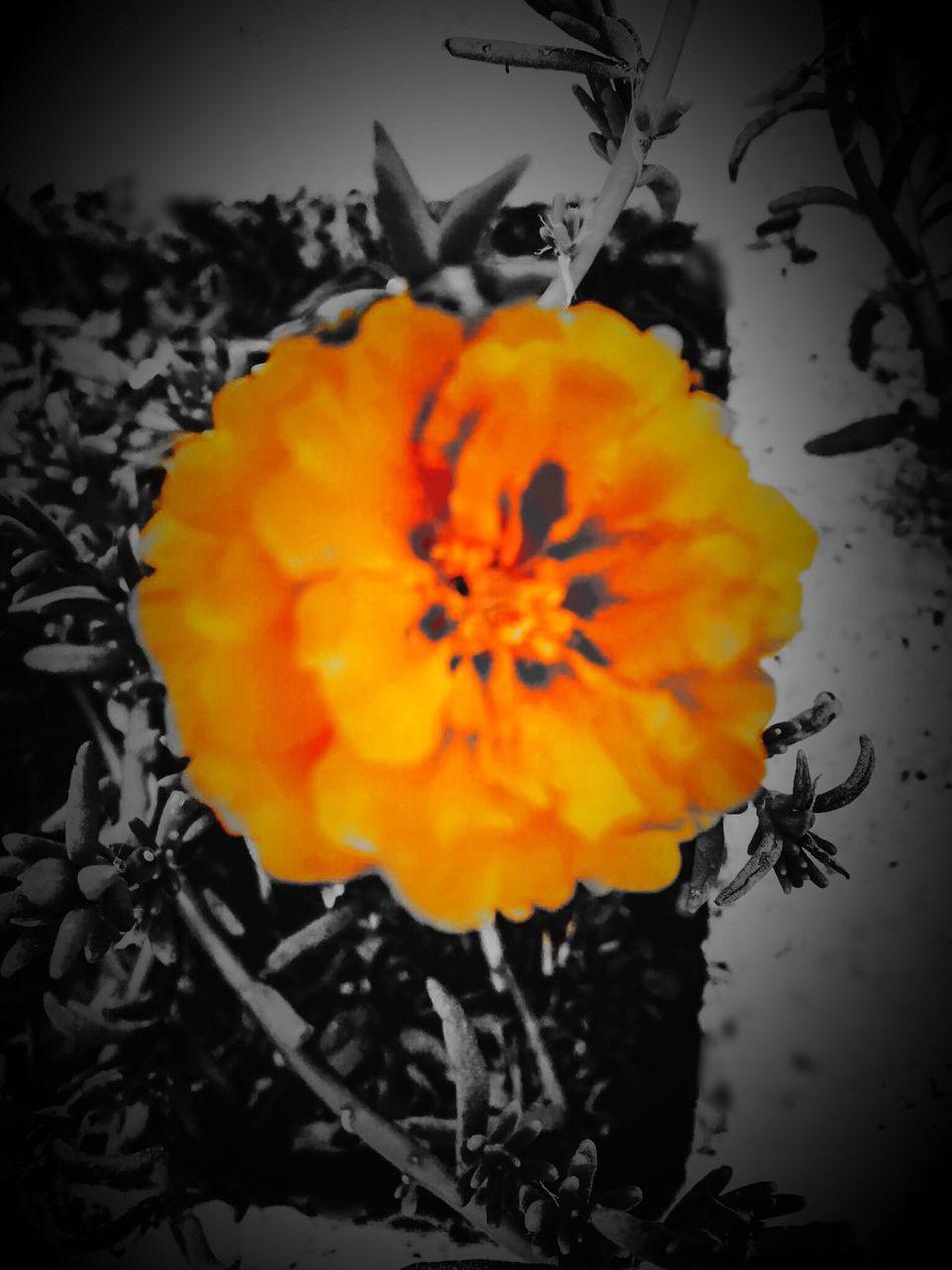 Lovely Flower  Orange Flower Color Splash And HDCamera Apps Orange Flower With Gray Background Poignant Experimenting with color splash app-- this orange flower against gray background appears poignant