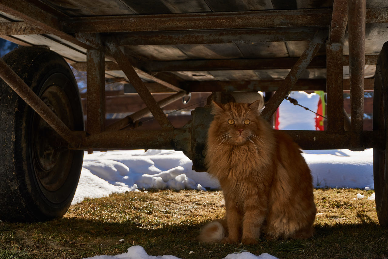Cat Cat Under The Old Trailer Day Domestic Animals EyeEm Nature Lover No People One Animal Outdoors Red Cat Red Long Hair Cat Transportation