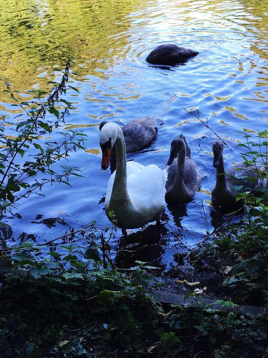 Beautiful Nature Ducks Family❤