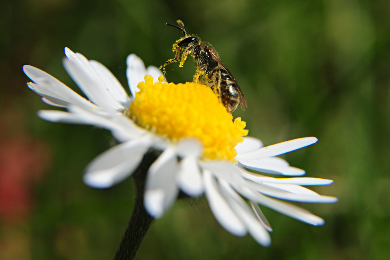 une abeille collecte le pollen d'une paquerette Abeille Beauty In Nature Bee Close-up Daisy Daisy Flower Flower Flower Head Foffields Fragility Honey Honey Bee Insect Miel Nature Paquerettes Petal Photooftheday Picoftheday Pollen Pollination White Color Wildflowers Wildlife & Nature Yellow