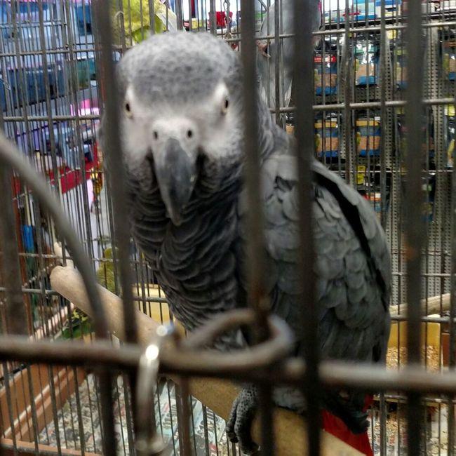Peek A Boo Peekaboo Bird Bird Photography Birds_collection Birds🐦⛅ Birds Of EyeEm  Grey Bird Beautiful Bird Parrot Parrot Lover Parrots