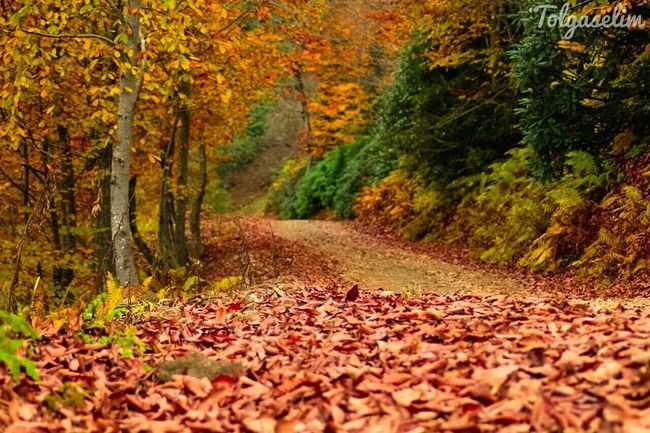 Autumn Change Tree Leaf Nature Scenics Beauty In Nature Outdoors Tranquility No People Growth Fallen Day Tranquil Scene Forest Leaves The Way Forward Yellow Fallen Leaf Fall Countryside Aerial View Tree Trunk Calm Waterfront
