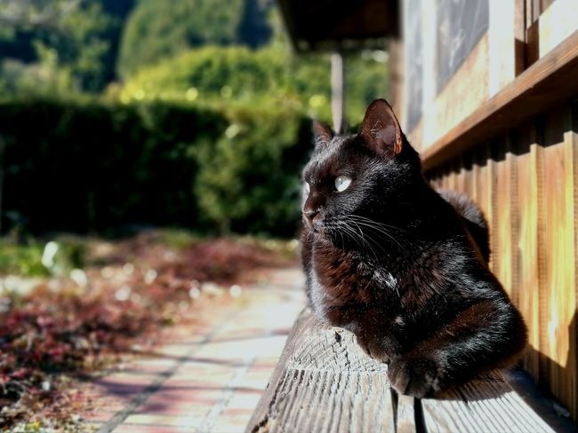 Black Cat Japanese Traditional House Domestic Cat Wood - Material Japan No People Pets Love Cat Cute Cat Outdoors One Animal Domestic Animals Animal Themes Day Feline