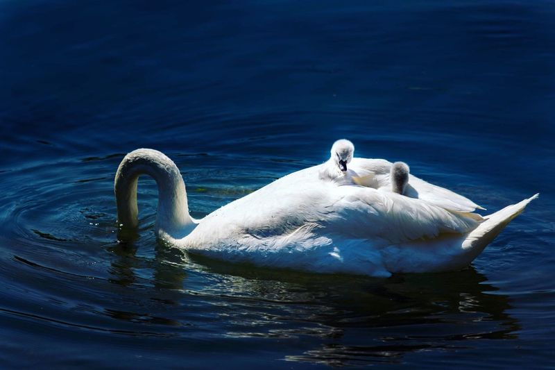 EyeEm Selects Animals In The Wild Animal Themes Swan Water Swimming Animal Wildlife One Animal Waterfront Bird Lake No People Nature Water Bird Day Outdoors Beauty In Nature Mammal Close-up Swans Babyswans EyeEm Selects