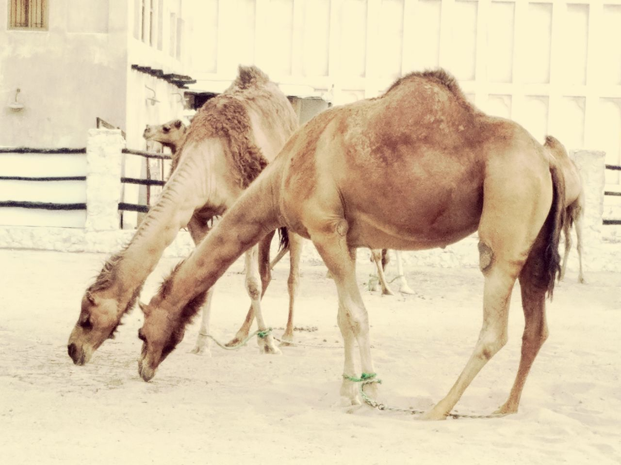 horse, domestic animals, animal themes, mammal, livestock, herbivorous, two animals, sand, no people, day, outdoors, nature