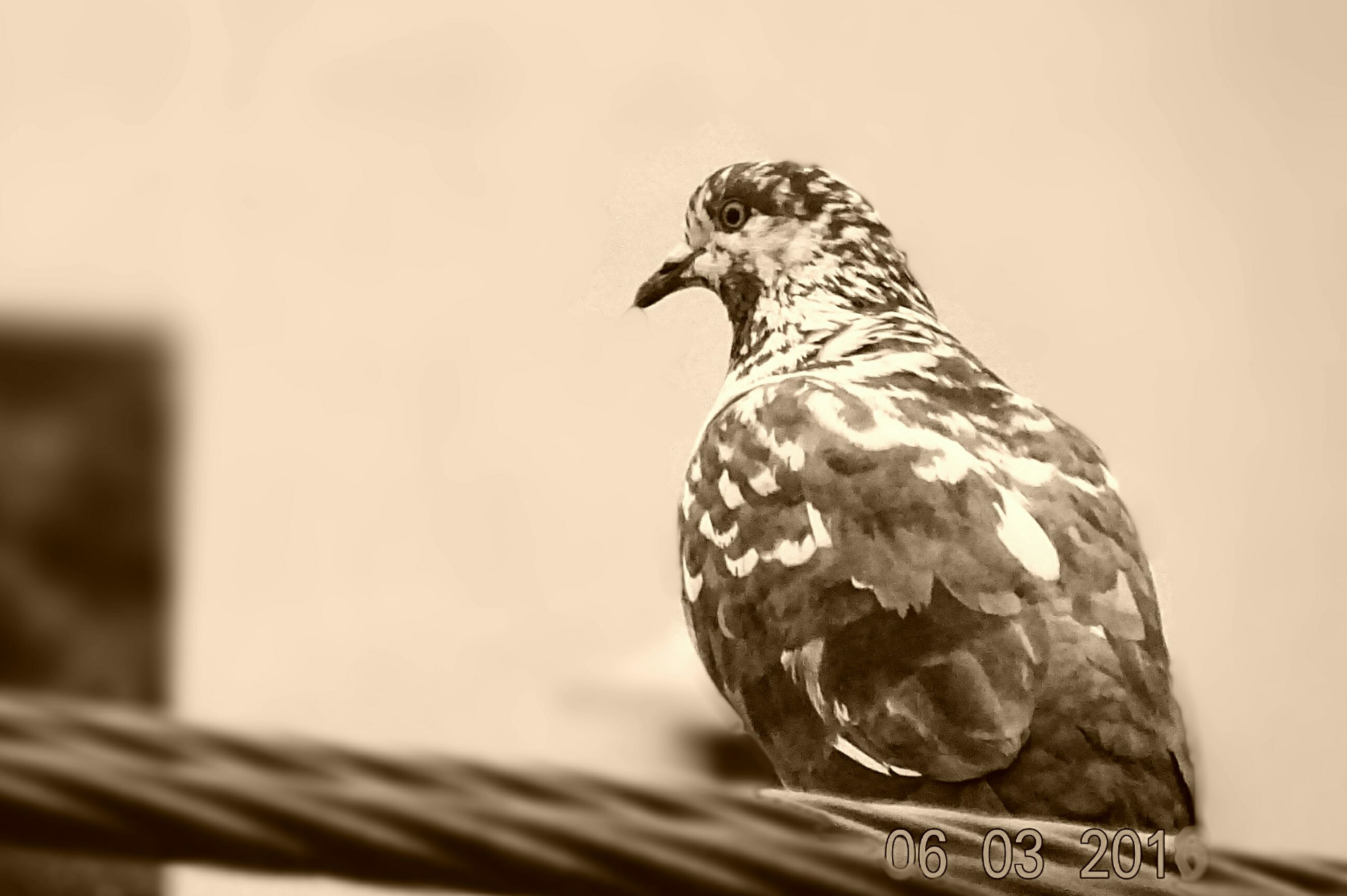 Check This Out Peigon sitting on the Wire Very Innocent Lovely Bird..... Love this