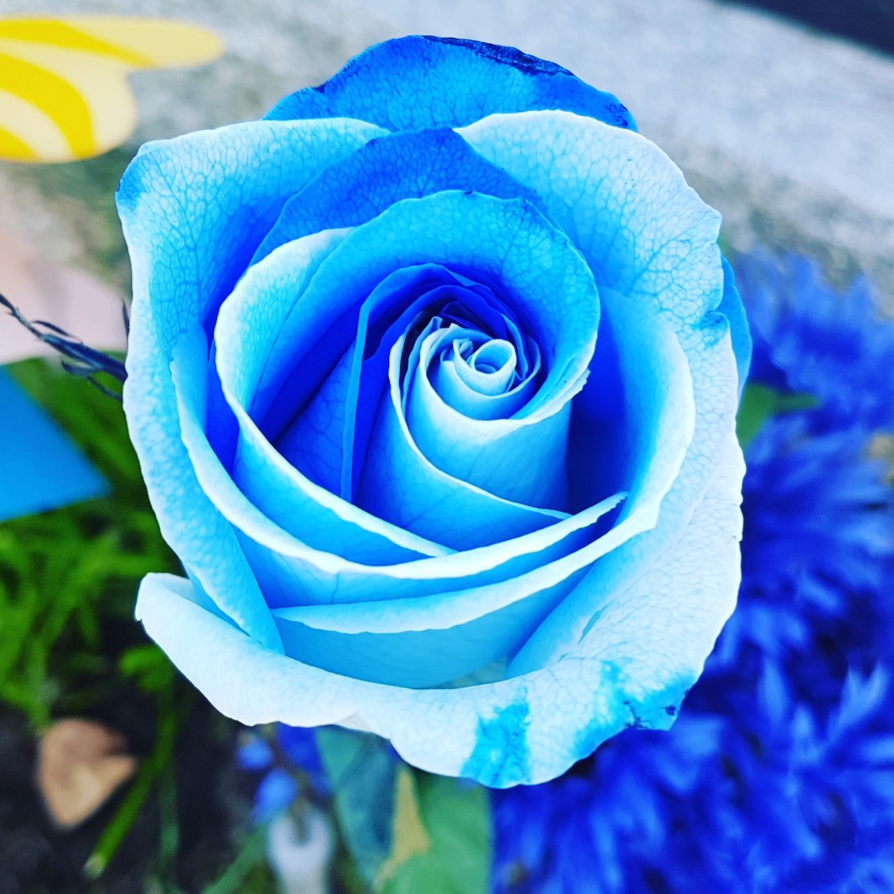 flower, petal, rose - flower, beauty in nature, nature, flower head, fragility, freshness, growth, plant, close-up, botany, blossom, no people, outdoors, blue, blooming, springtime, leaf, day