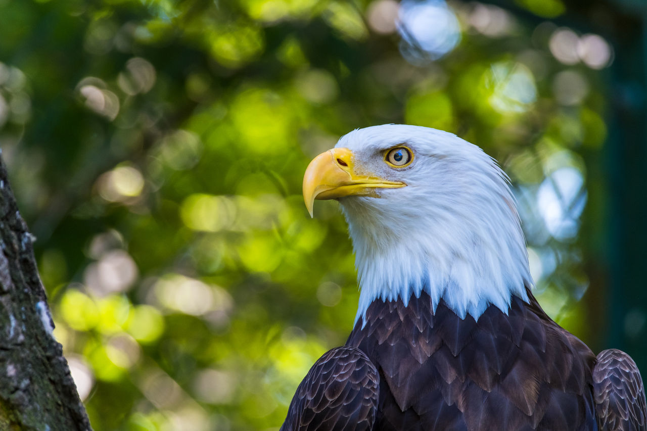 Animal Head  Animal Themes Animals In Captivity Bald Eagle Beak Beauty In Nature Bird Bird Of Prey Close-up Day Eagle - Bird Endangered Species Focus On Foreground Nature No People One Animal Outdoors Sea Eagle The Natural World Tree White-tailed Eagle Yellow Zoology