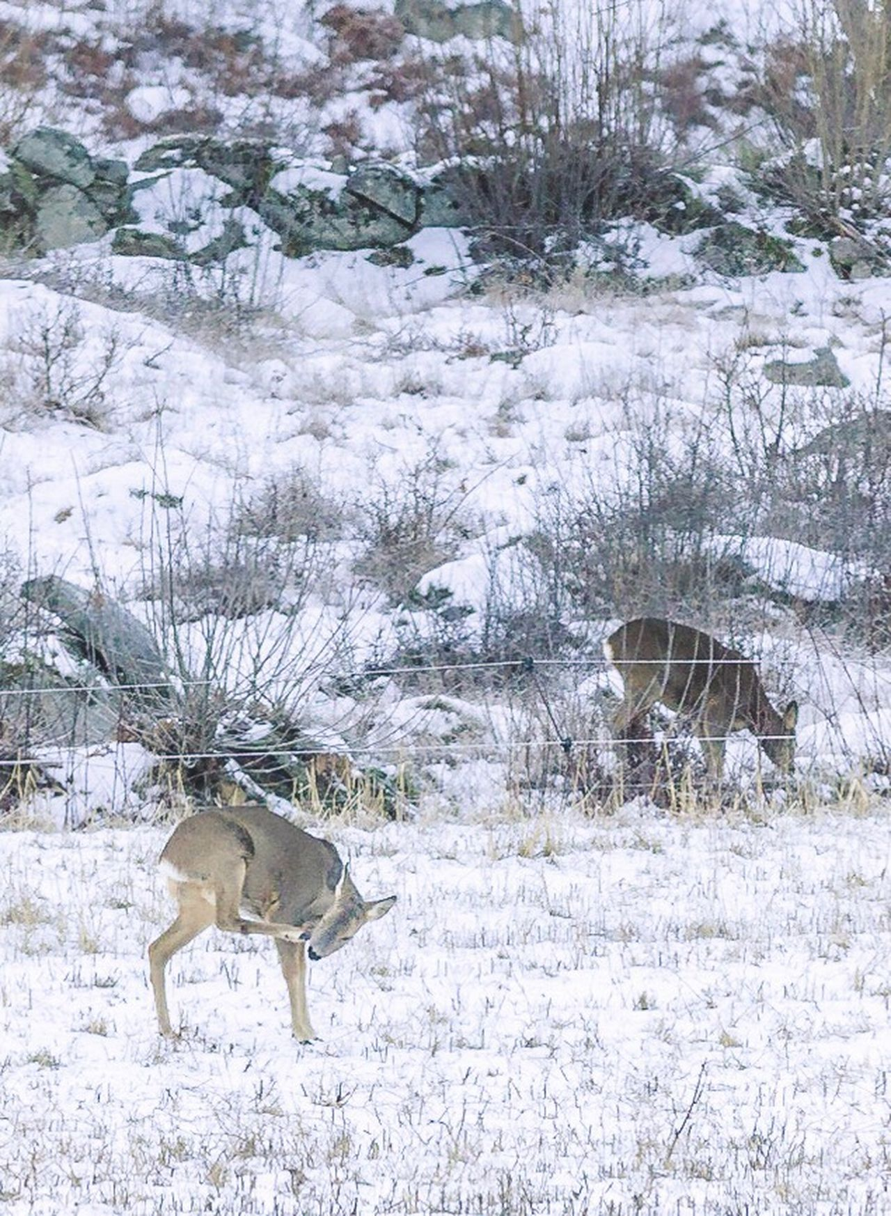 ITCHY & SCRATCHY | One of the perks of being surrounded by forest - The Wildlife | Roe Deer Deer Sweden Animal Themes Animals In The Wild Animal Snow Winter Cold Temperature Weather Nature Outdoors Bare Tree One Animal Deer Tree No People Mammal Reindeer Day Beauty In Nature Snowing Antler Nature Winter