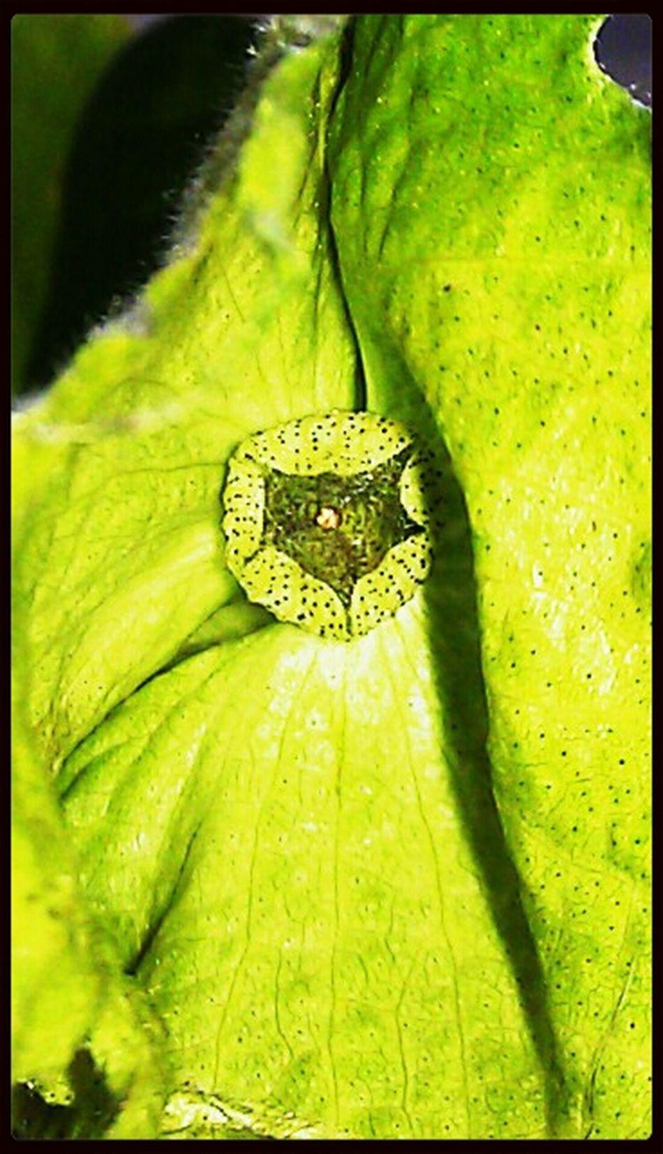 Cotton Gossypium Herbaceum