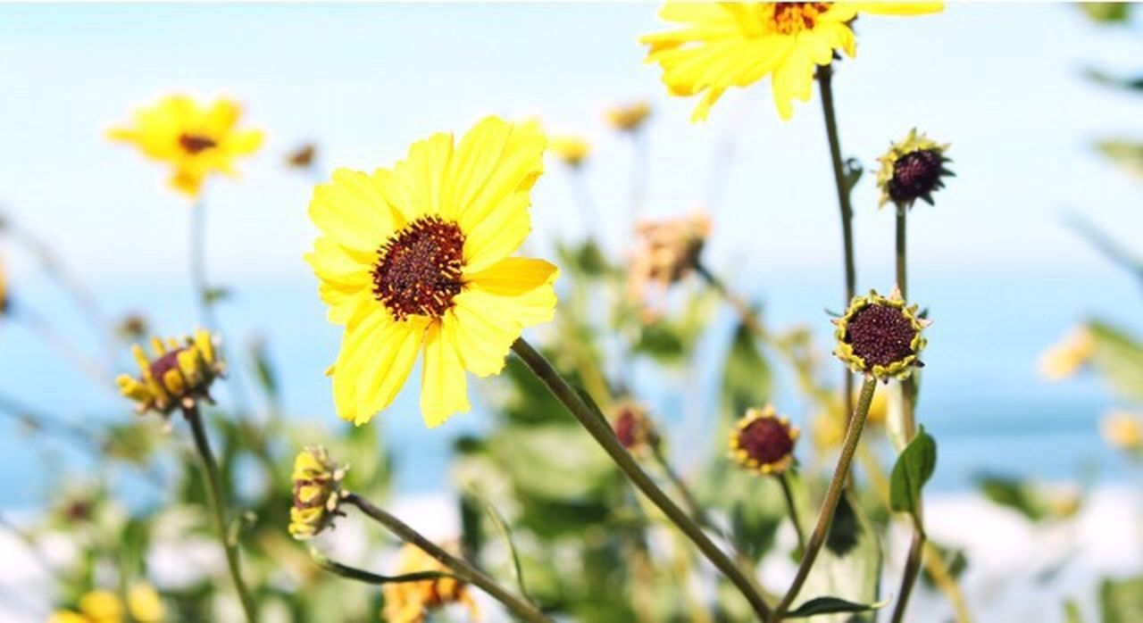 flower, nature, plant, flower head, growth, petal, beauty in nature, focus on foreground, fragility, yellow, freshness, blossom, no people, outdoors, day, uncultivated, springtime, close-up, herbal medicine, sky