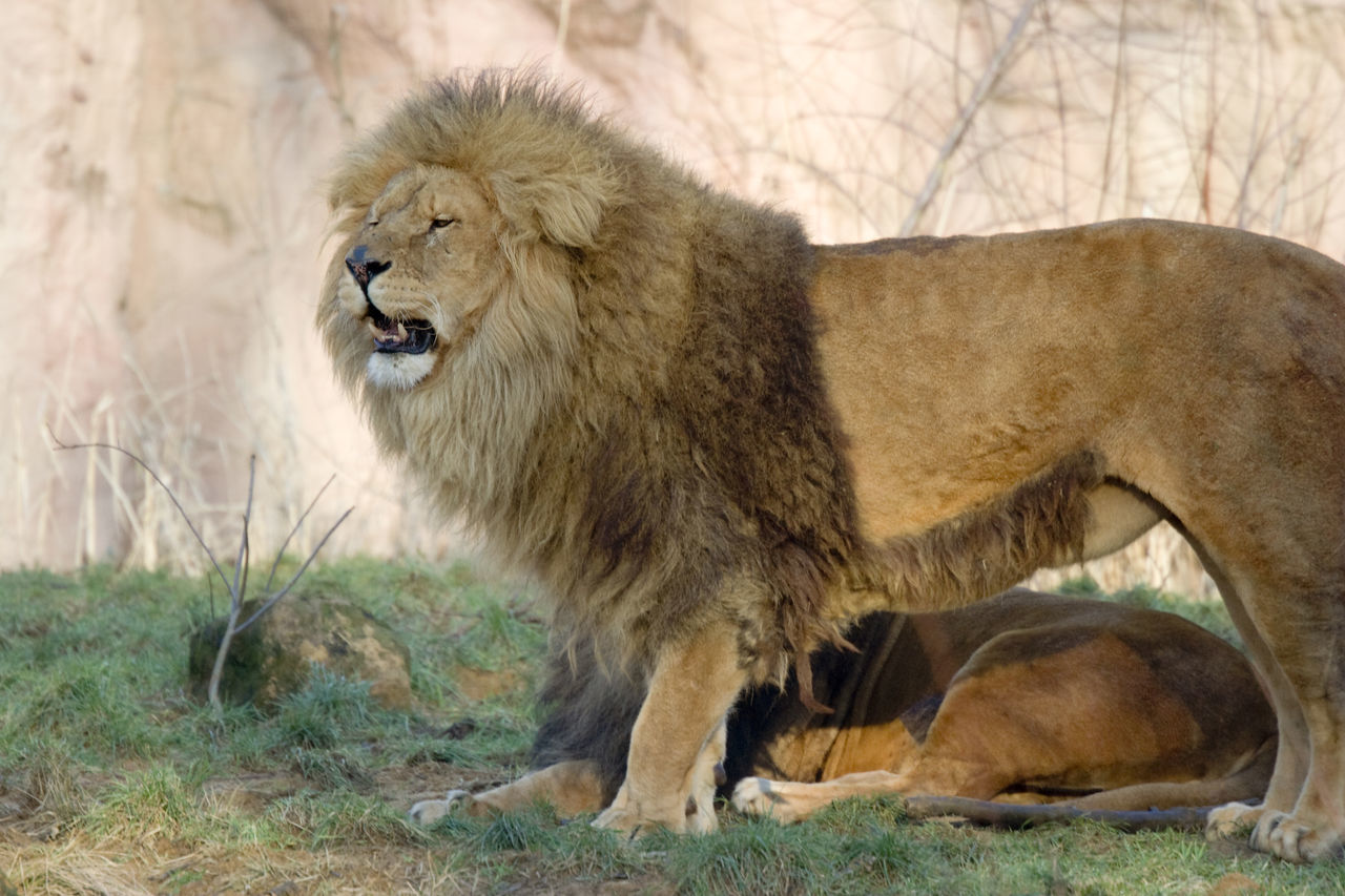 two lions - panthera leo Africa Animal Themes Feline Lion Lion - Feline Lion King  Lions Lying Down Majestic Male Mammal Mane Mouth Open No People Outdoors Pair Panthera Leo Roaring Safari Animals Standing Strength Teeth Two Animals Undomesticated Cat Wildcat