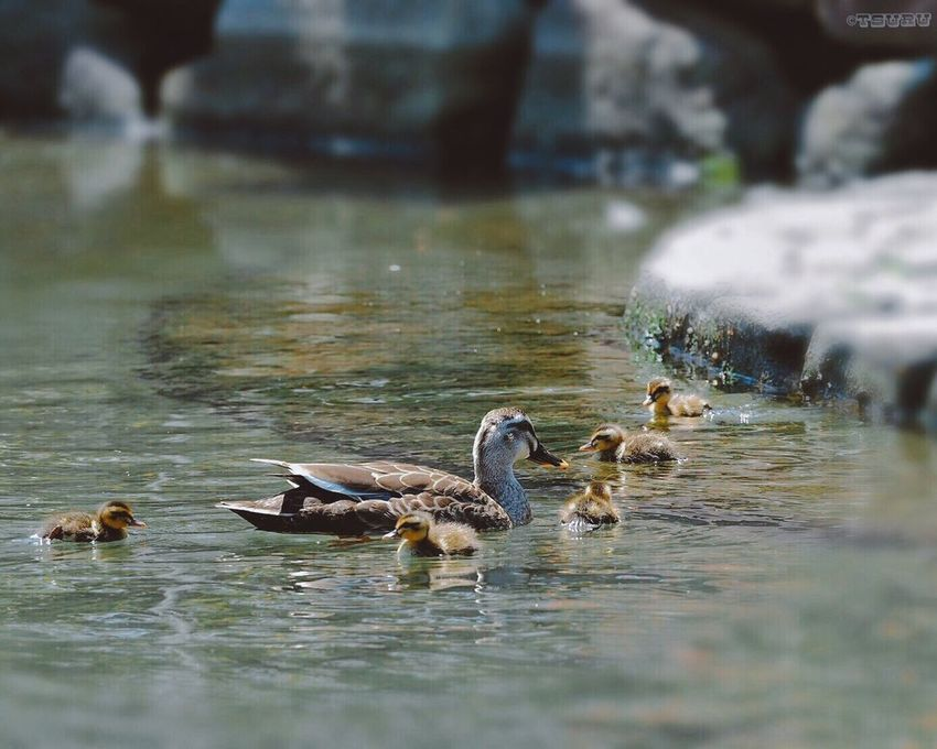 Duck Baby Water Animal Themes Bird Swimming Young Bird Waterfront Water Bird Nature Outdoors Snapshots Of Life From My Point Of View Capture The Moment A Day Of Tokyo EyeEm Nature Lover Still Life Cute Ducks Cute Nature On Your Doorstep