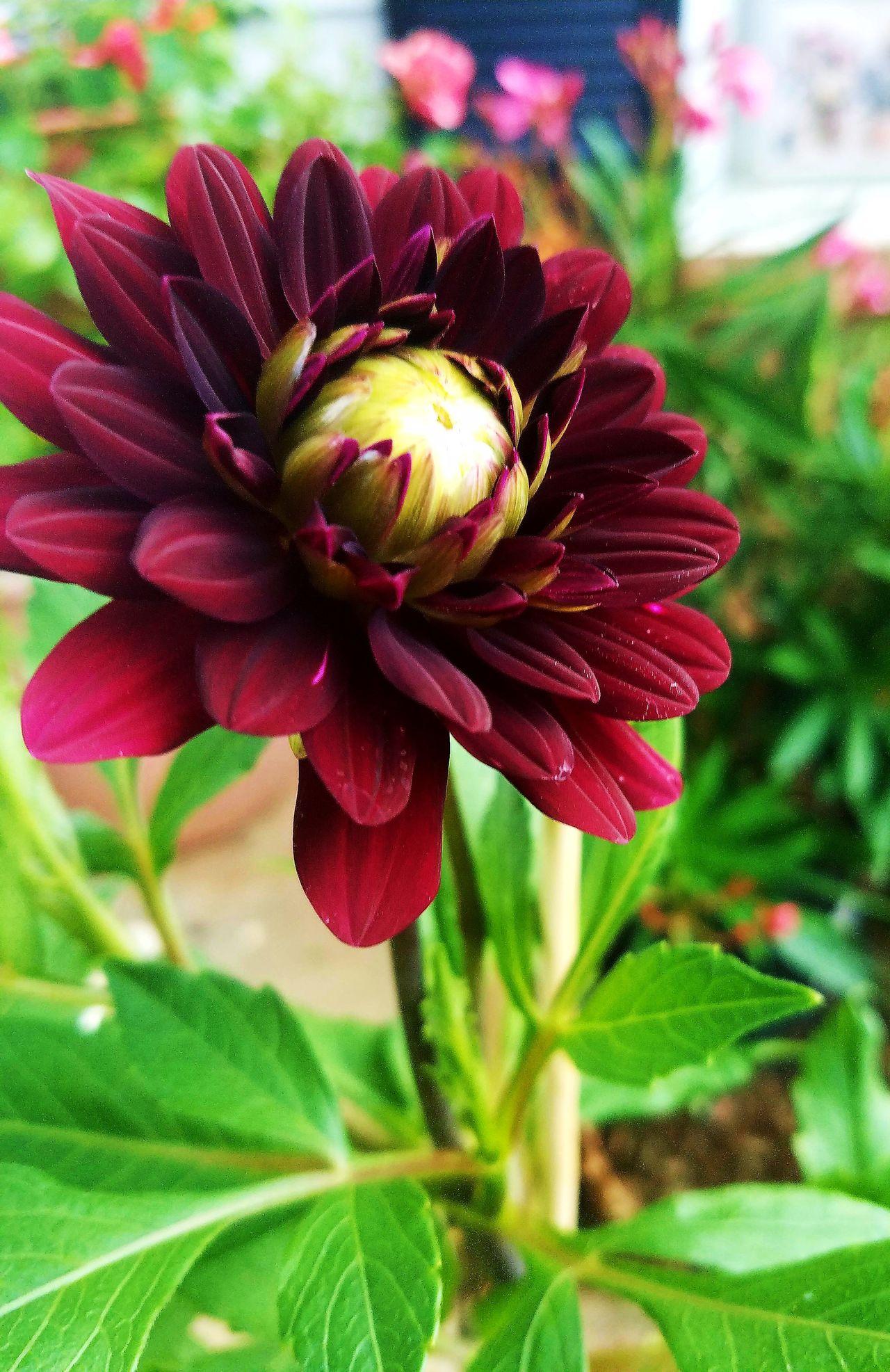 Flower Flower Photography Garden Photography Upclose Flower High Saturation Summer Burgundy Flower Rich Colors Summer Yet To Bloom Samsung Galaxy S7