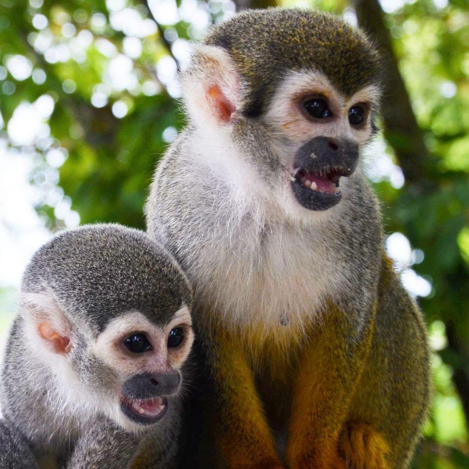 Monkey Jungle Nature Colombia Rainforest Saimiri Sciureus Squirrel Monkey Fierce Nature Cute Animals Animals In The Wild Together