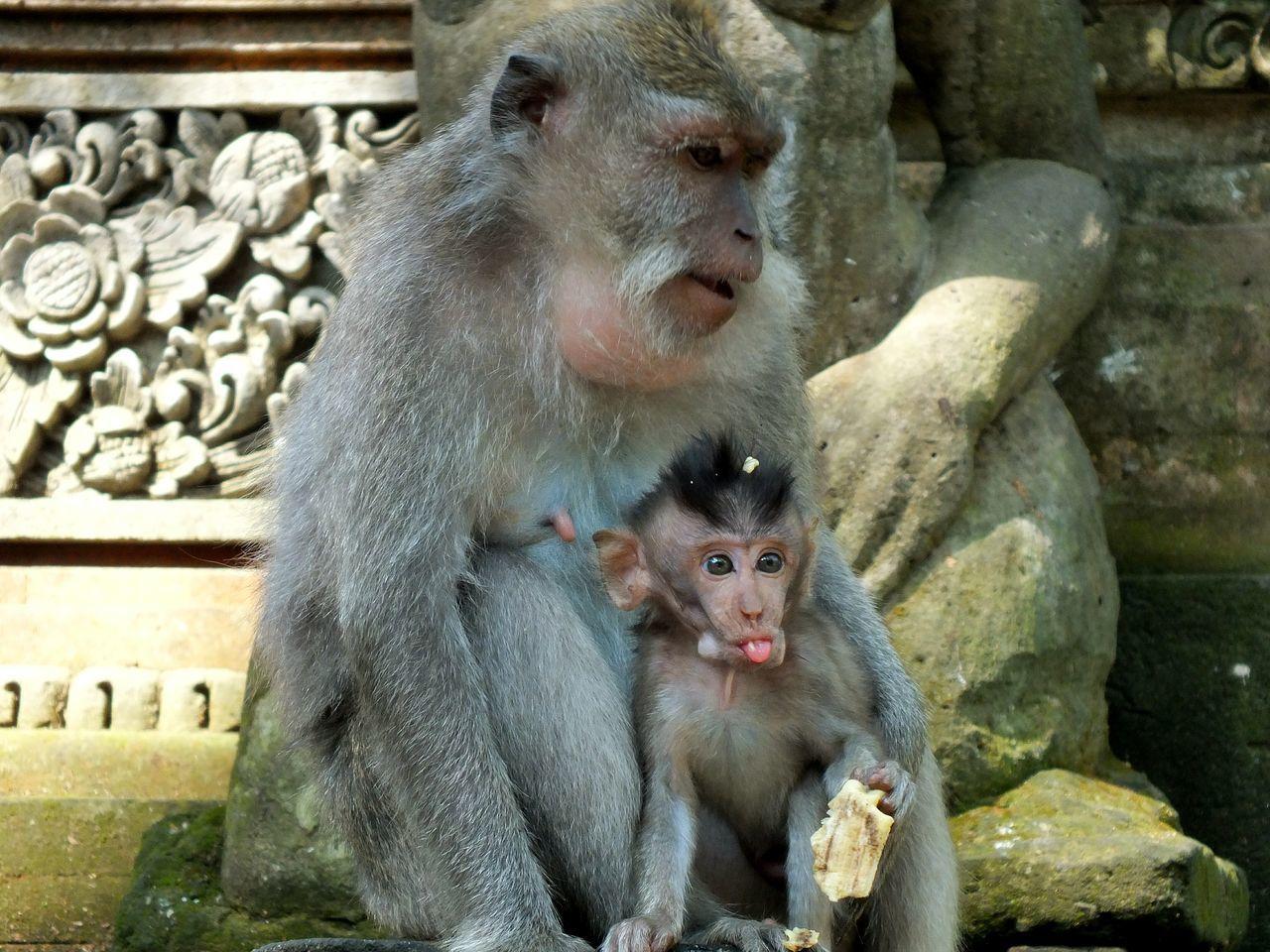 Monkey Mammal Animal Themes Primate Animal Family Outdoors Animals In The Wild Nature Animals Baby Wildlife Wildlife Photography Beauty In Nature Ubud Bali INDONESIA