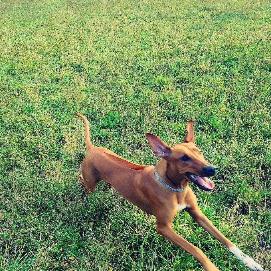 Dogslife Doggy Animal Nesta Rhodesian Ridgeback FUNNY ANIMALS Dogs Animal Themes Domestic Animals Pets Dog