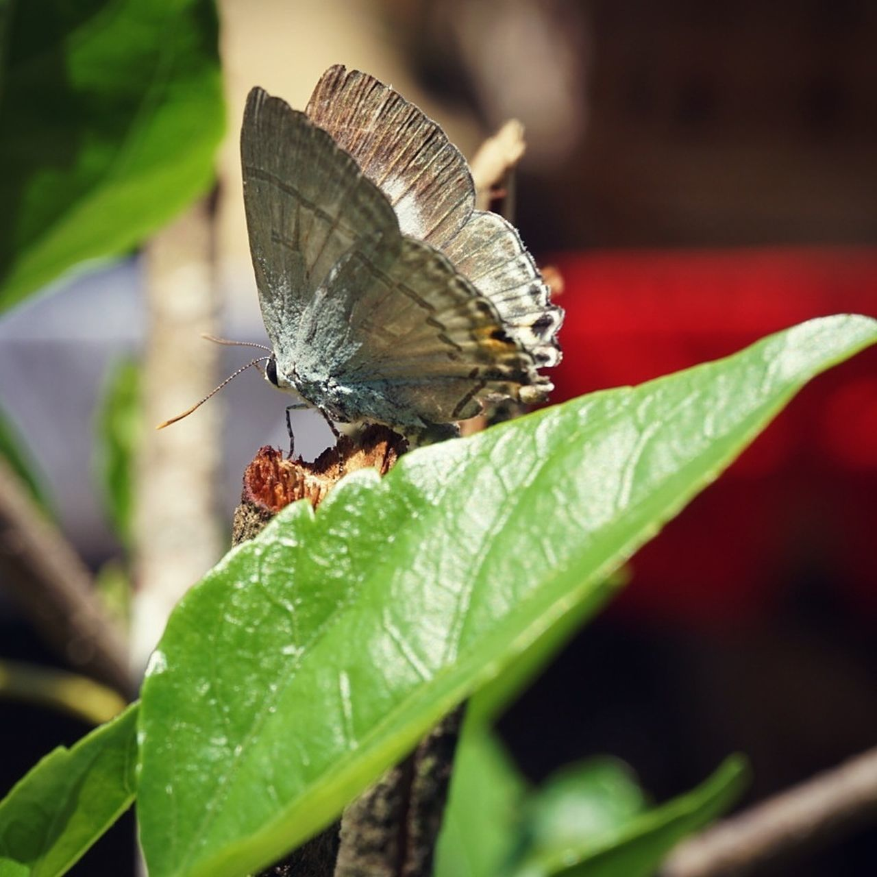 insect, leaf, animals in the wild, one animal, animal themes, butterfly - insect, butterfly, wildlife, plant, close-up, nature, no people, animal wildlife, outdoors, green color, day, growth, beauty in nature, perching, fragility, spread wings, freshness