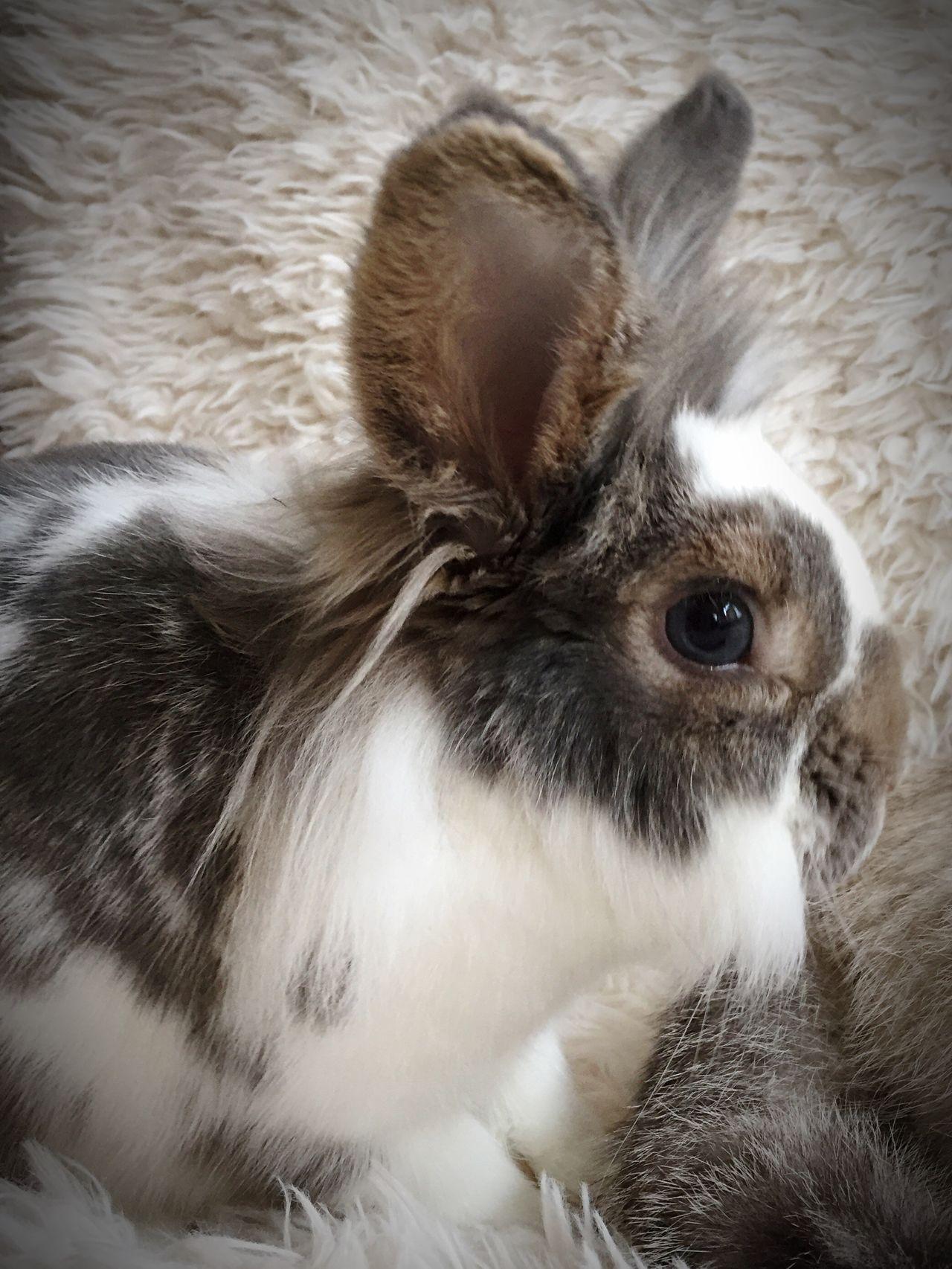 Domestic Animals Indoors  One Animal No People Rabbits Rabbit♡ Pets Cats Of EyeEm Cats Rabbit ❤️ Rabbit 🐇 EyeEm Animal Lover