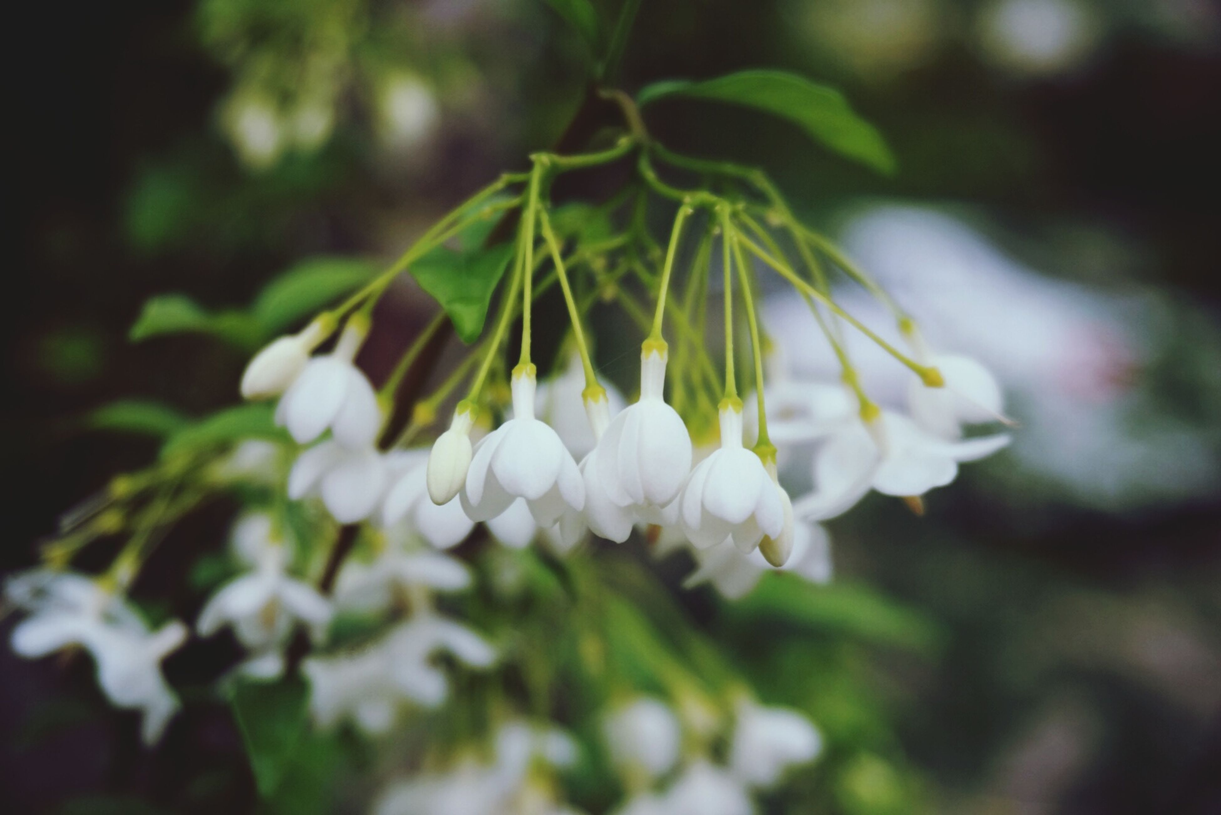 flower, growth, freshness, fragility, white color, petal, close-up, beauty in nature, focus on foreground, nature, flower head, selective focus, plant, blooming, in bloom, blossom, outdoors, botany, park - man made space, day