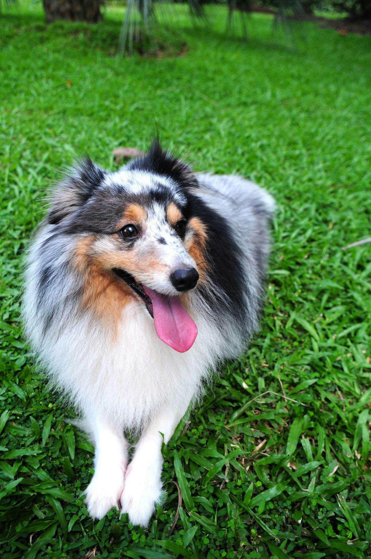 I Love My Dog Dog Dog Love Pet Pet Photography  Pets Corner Pets The Portraitist - 2015 EyeEm Awards Shetland Sheepdog Blue Merle