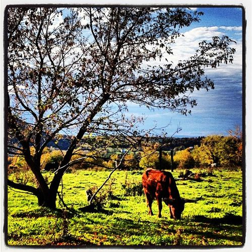 Good Day For Grazing. #miltonvt #vt Grazing Vermont_scenery Farm 802 Iphoneonly Miltonvt Photooftheday Igharjit Picoftheday Vermontbyvermonters Vermont Vt_scene Vermont_scene Igvermont All_shots Igvt Instamood Vt_landscape Bestoftheday Cattle Vt_farm Instagood Vermont_farm Webstagram Latergramer Vt Bull Vt_scenery