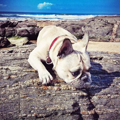 Crazydog Frenchbulldog Ilovemydog