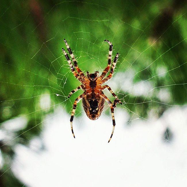 Spider Spiders Natureanimals Amasra Animals Wildlife Wildlife Photography Wild Animals Dangerously Beautiful Dangerous