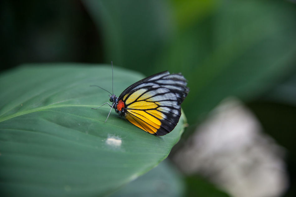 Beautiful stock photos of leaf, Animal Themes, Animals In The Wild, Beauty In Nature, Butterfly