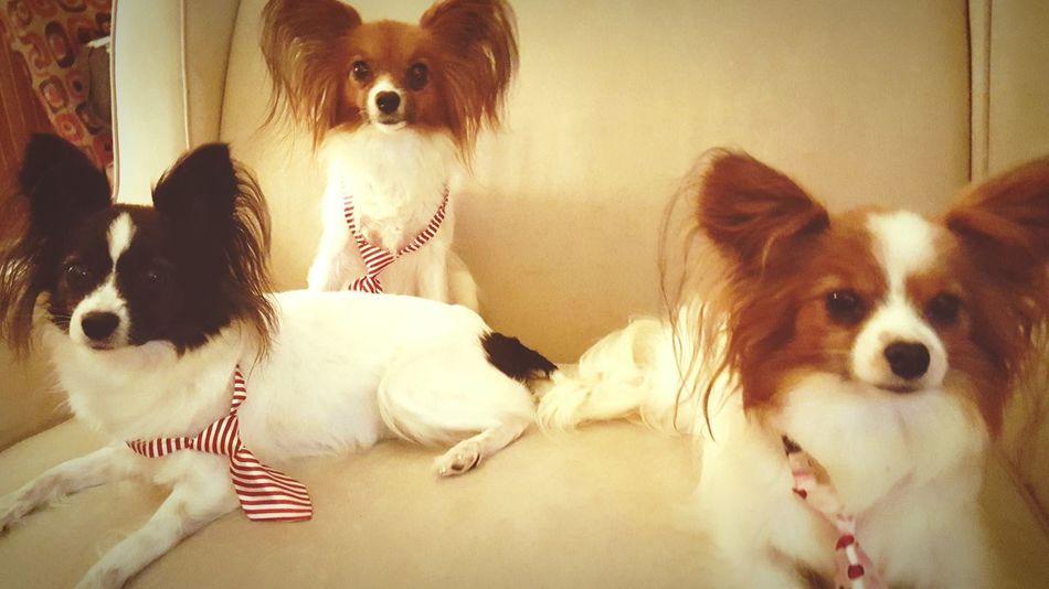 Papillion, Dog, Cute, Precious, Furry Ilovemydog Dogslife