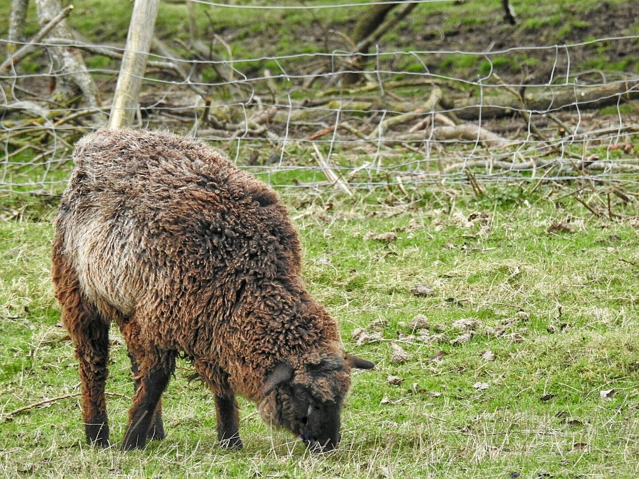Sheep Ewe Bovine Animal Themes One Animal Mammal Animals In The Wild Nature Grass No People Animal Wildlife Outdoors Day Field Animals In The Wild Beauty In Nature Nature Grass Grazing Domestic Animals Brown