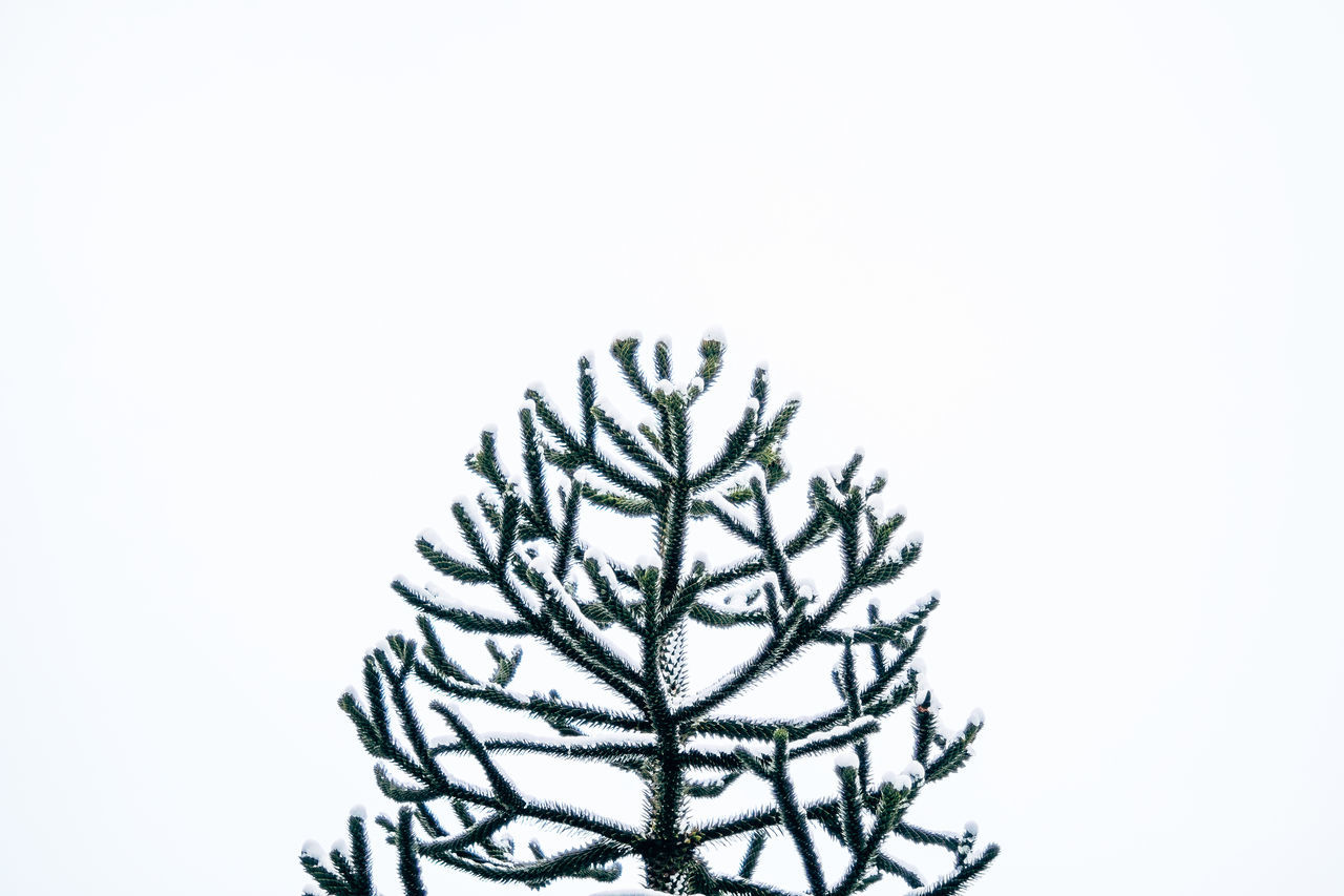 Snow On Tree Against White Background