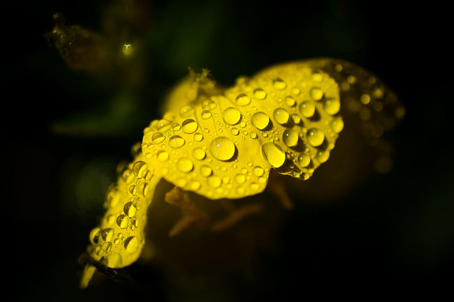 Photos from personal garden in Massachusetts Beauty In Nature Blooming Blossom Close-up Contrast Dew Drop Droplet Evening Primrose Flower Flower Head Focus On Foreground Fragility Freshness Garden Growth In Bloom Nature Petal Plant Primrose Purity Selective Focus Water Yellow
