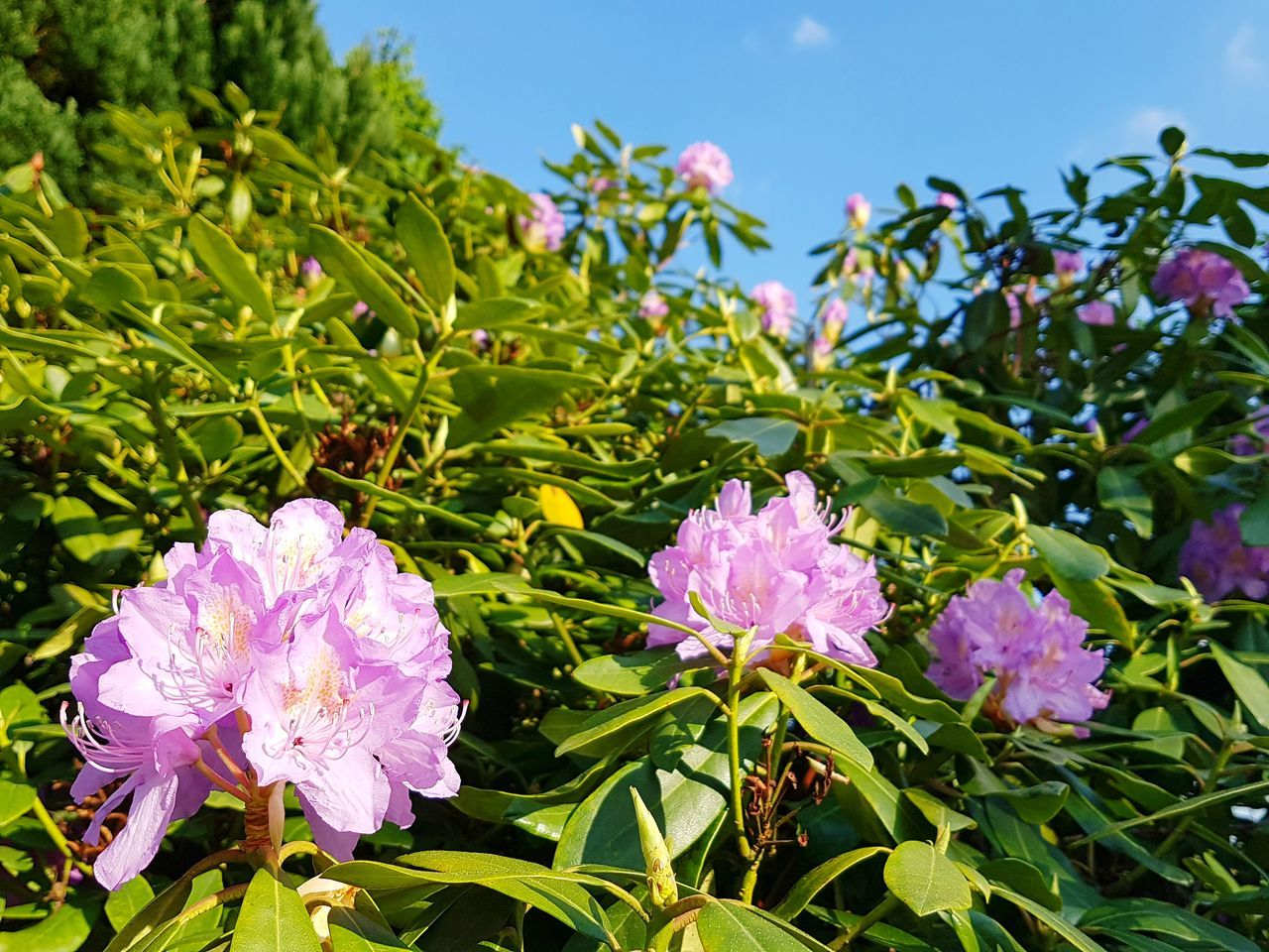 Rhododendron Blossoms against Blue Blue Sky Flower Plant Flower Head Nature Purple Beauty In Nature Leaf No People Petal Outdoors Day Growth Landscape Fragility Freshness Close-up Sky Nature On Your Door Step Nature Ladyphotographerofthemonth Springtime Fresh Green In Spring Botany Close Up