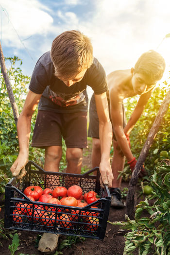picking up fresh tomatoes at plantation Agriculture Bend Down Helping Picking Up Picking Up A Package Plant Red Sunlight Working Youth Boys Farming Field Food Harvesting Outdoors Plantation Ripe Summer Sunset Togetherness Tomatoes Vegetables