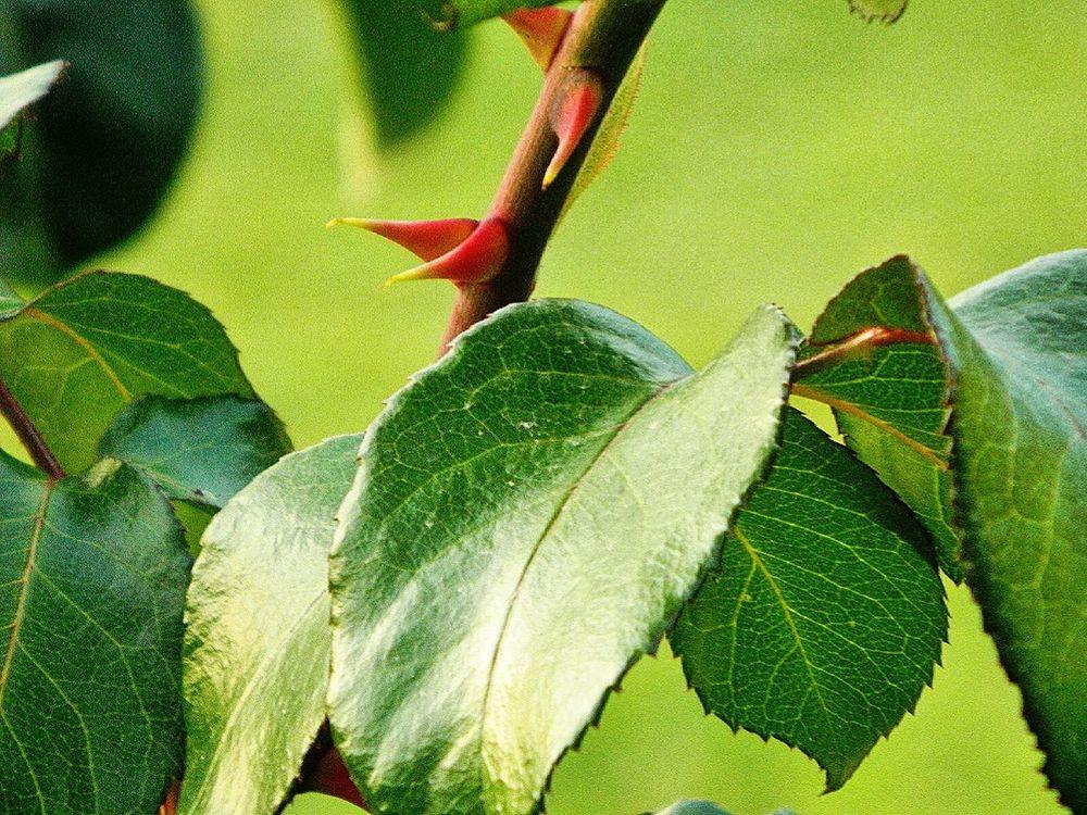 EyeEm Best Shots - Nature Every Rose Has It's Thorn Rose Bush