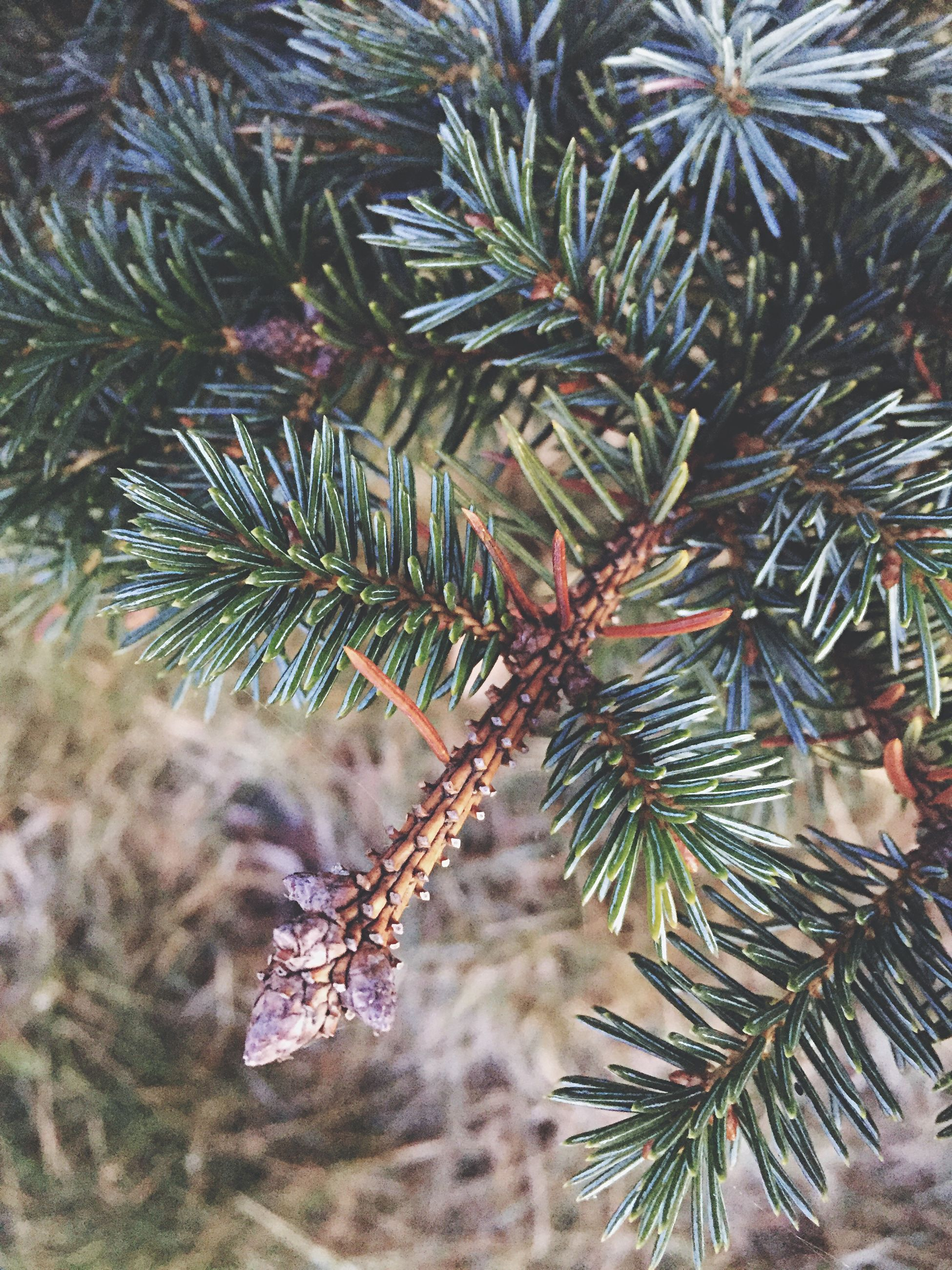 growth, nature, tree, plant, tranquility, close-up, beauty in nature, thorn, cactus, leaf, day, palm tree, branch, spiked, outdoors, growing, pine tree, no people, pine cone, focus on foreground