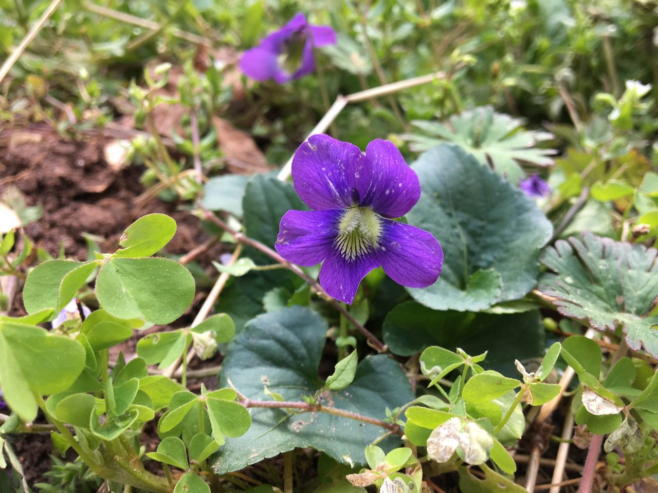 Spring Violet Flower Purple Nature Growth Fragility Freshness Beauty In Nature Petal Blooming Plant Flower Head Leaf Outdoors Close-up No People Day Violet Viola Spring Flowers Spring