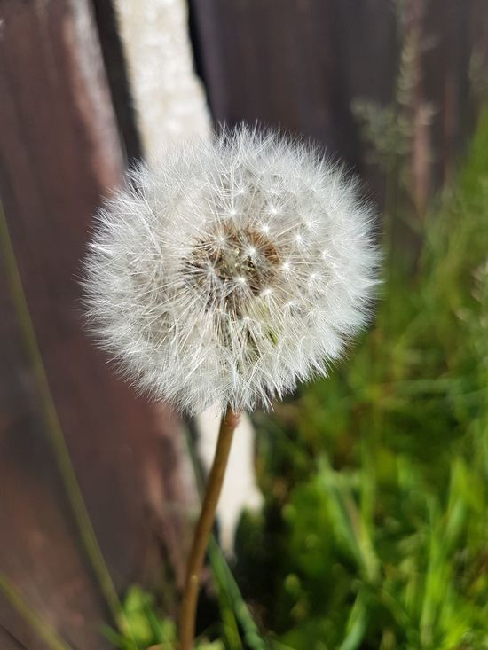 Dandelion Nature Fragility Close-up No People Focus On Foreground Beauty In Nature Flower Head Outdoors Besteyemphoto Springtime Taking Photos Beauty In Nature Check This Out Day Plant Nature Enjoying Life