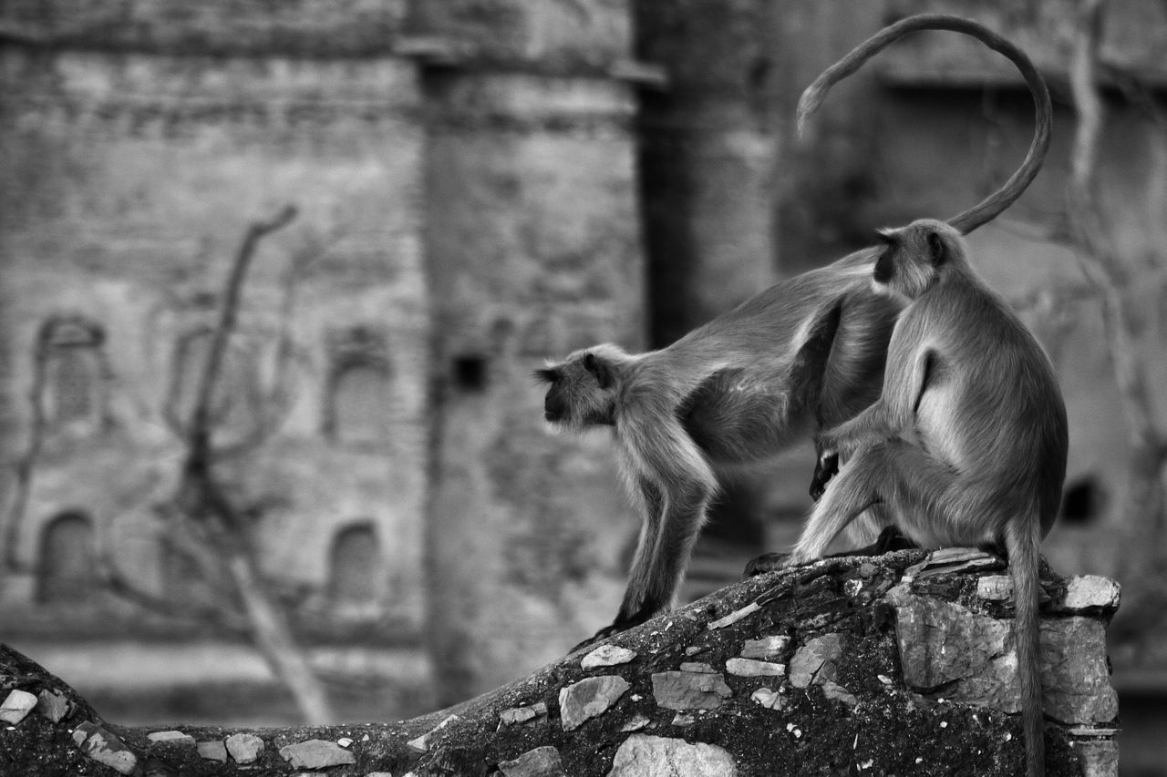 watching out Animal Themes Animals Animals In The City Bw Curve Day Focus On Foreground Fort Langur Mammal Monkey Monochrome Monochrome Photography Nature No People Outdoors Rajasthan Tail TaragarhFort Travel