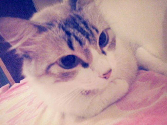Gato amo