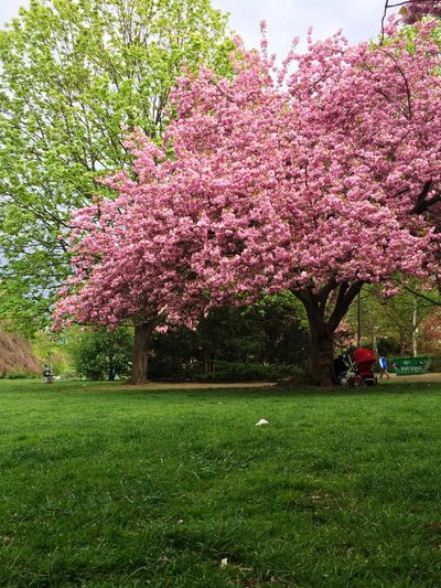 Berlin Park Cherry Blossoms Picnic From Where I Sit